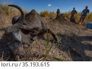 Scientists with Cape buffalo (Syncerus caffer) that has been sedated for collaring. Gorongosa National Park, Mozambique. Стоковое фото, фотограф Jen Guyton / Nature Picture Library / Фотобанк Лори
