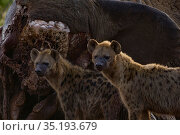 Two spotted hyenas (Crocuta crocuta) standing in front of an elephant carcass at dawn, Laikipia Plateau, Kenya. This elephant was killed by government... Стоковое фото, фотограф Jen Guyton / Nature Picture Library / Фотобанк Лори