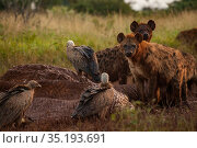 White-backed vultures (Gyps africanus) pick at the drying and deflated skin of an elephant carcass (Loxodonta africana) while spotted hyenas (Crocuta crocuta... Стоковое фото, фотограф Jen Guyton / Nature Picture Library / Фотобанк Лори