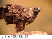 Golden eagle (Aquila chrysaetos) in the Serranía del Turia. Valencia. Стоковое фото, фотограф Valentín Rodríguez / age Fotostock / Фотобанк Лори