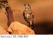 Mistle thrush (Turdus viscivorus) in the Serranía del Turia. Valencia. Стоковое фото, фотограф Valentín Rodríguez / age Fotostock / Фотобанк Лори