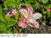 Цветущий рододендрон японский (лат. Rhododendron japonicum) крупным планом. Стоковое фото, фотограф Елена Коромыслова / Фотобанк Лори