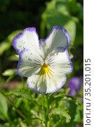 Фиалка трехцветная (лат. Viola tricolor), или анютины глазки в саду крупным планом. Стоковое фото, фотограф Елена Коромыслова / Фотобанк Лори