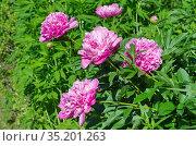Розовые пионы (лат. Paeonia) цветут в летнем саду. Стоковое фото, фотограф Елена Коромыслова / Фотобанк Лори