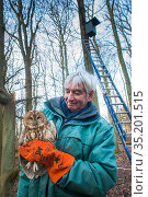 Bird ringer Fred Koning holding Tawny owl (Strix aluco) during ringing session. Part of 60 year long-term study to monitor raptor nests in a 3,400 hectare... Стоковое фото, фотограф Edwin Giesbers / Nature Picture Library / Фотобанк Лори
