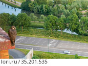 Peregrine falcon (Falco peregrinus) fledgling perched on edge of hotel balcony waiting for parents to return with food, overlooking road and canal. Houten, Utrecht, The Netherlands. May 2019. Стоковое фото, фотограф Edwin Giesbers / Nature Picture Library / Фотобанк Лори