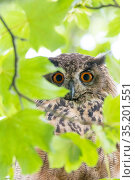 Eurasian eagle owl (Bubo bubo) perched in tree, viewed through leaves, portrait. The Netherlands. July. Стоковое фото, фотограф Edwin Giesbers / Nature Picture Library / Фотобанк Лори