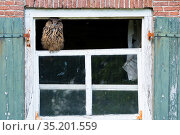 Eurasian eagle owl (Bubo bubo) perched on broken window of abandoned farm. The Netherlands. July 2020. Стоковое фото, фотограф Edwin Giesbers / Nature Picture Library / Фотобанк Лори