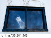 Barn owl (Tyto alba) looking out of window of old barn. The Netherlands. Captive. Стоковое фото, фотограф Edwin Giesbers / Nature Picture Library / Фотобанк Лори