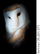 Barn owl (Tyto alba) portrait. Captive. Стоковое фото, фотограф Edwin Giesbers / Nature Picture Library / Фотобанк Лори