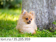 portrait of a pomeranian spitz playing on the grass in the garden on a summer sunny day. Стоковое фото, фотограф Акиньшин Владимир / Фотобанк Лори