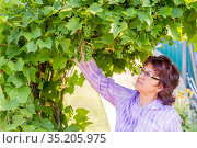 Beautiful mature brunette admires the vine arch on a summer day. Стоковое фото, фотограф Акиньшин Владимир / Фотобанк Лори