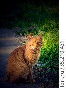 Умный и строгий взгляд красивого рыжего кота, сидящего на краю дороги. Стоковое фото, фотограф Владимир Устенко / Фотобанк Лори