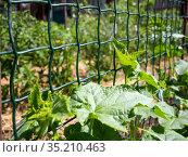 Пластиковая сетка используется в качестве шпалеры при выращивании огурцов. Стоковое фото, фотограф Вячеслав Палес / Фотобанк Лори