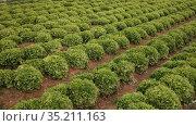 Smooth rows of lettuce on the field. Стоковое видео, видеограф Яков Филимонов / Фотобанк Лори