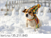 Jack Russell dog on the snow. Стоковое фото, фотограф Типляшина Евгения / Фотобанк Лори