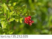 Цветение граната обыкновенного. Стоковое фото, фотограф Николай Мухорин / Фотобанк Лори