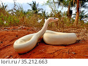 Ball or Royal python (Python regius), leucistic form on sand, Togo. Controlled conditions. Стоковое фото, фотограф Daniel Heuclin / Nature Picture Library / Фотобанк Лори