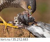 Eurasian sparrowhawk (Accipiter nisus) female feeding on Wood pigeon (Columba palumbus) prey. North Norfolk, England, UK. February. Стоковое фото, фотограф David Tipling / Nature Picture Library / Фотобанк Лори