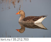 Greylag goose (Anser anser) reflected in water. North Norfolk, England, UK. April. Стоковое фото, фотограф David Tipling / Nature Picture Library / Фотобанк Лори