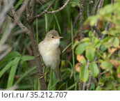 Marsh warbler (Acrocephalus palustris) male perched on branch. Unst, Shetland Islands, Scotland, UK. June. Стоковое фото, фотограф David Tipling / Nature Picture Library / Фотобанк Лори