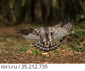 Eurasian sparrowhawk (Accipiter nisus) female landing. North Norfolk, England, UK. March. Стоковое фото, фотограф David Tipling / Nature Picture Library / Фотобанк Лори