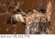 Barn swallow (Hirundo rustica) feeding chicks on nest. Maryland, USA. June. Стоковое фото, фотограф John Cancalosi / Nature Picture Library / Фотобанк Лори