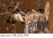 Barn swallow (Hirundo rustica) feeding chicks on nest. Maryland, USA. June. Стоковое фото, фотограф John Cancalosi / Nature Picture Library / Фотобанк Лори