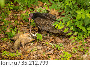 Turkey vulture (Cathartes aura) feeding on Snapping turtle (Chelydra serpentina). Maryland, USA. June. Стоковое фото, фотограф John Cancalosi / Nature Picture Library / Фотобанк Лори
