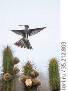 Giant Hummingbird (Patagonia gigas) feeding on cactus flowers, Tilgo Island, La Serena, Humboldt Archipelago, Chile. Стоковое фото, фотограф Tui De Roy / Nature Picture Library / Фотобанк Лори