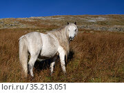 Wild Welsh pony in upland. Carneddau Mountains of Snowdonia National Park, Wales, UK. December 2019. Стоковое фото, фотограф Graham Eaton / Nature Picture Library / Фотобанк Лори
