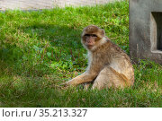 Rhesus Macaque Monkey sits on green grass at the zoo. Стоковое фото, фотограф Restyler Viacheslav / Фотобанк Лори