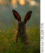 RF - European hare, (Lepus europaeus), at sunrise, UK (This image... Стоковое фото, фотограф Andy Rouse / Nature Picture Library / Фотобанк Лори