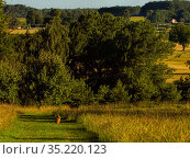 European hare, (Lepus europaeus), in habitat , UK. Стоковое фото, фотограф Andy Rouse / Nature Picture Library / Фотобанк Лори