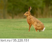 RF - European hare, (Lepus europaeus), in grassland, UK (This image... Стоковое фото, фотограф Andy Rouse / Nature Picture Library / Фотобанк Лори