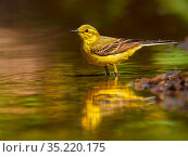 Yellow wagtail, (Motacilla flava), male bathing, UK. Стоковое фото, фотограф Andy Rouse / Nature Picture Library / Фотобанк Лори