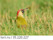 Green woodpecker (Picus viridis) female feeding in short grass. London, England, UK. January. Стоковое фото, фотограф Oscar Dewhurst / Nature Picture Library / Фотобанк Лори
