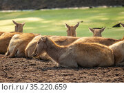 Deer females lie by a reservoir overgrown with greenery. Стоковое фото, фотограф Restyler Viacheslav / Фотобанк Лори