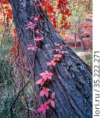 Virginia creeper (Parthenocissus quinquefolia) climbing up trunk of Fremont's cottonwood (Populus fremontii). Coyote Gulch, Escalante, Glen Canyon... Стоковое фото, фотограф Jack Dykinga / Nature Picture Library / Фотобанк Лори