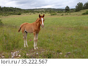 Purebred Arabian horse (Equus caballus) bay foal, age one month, standing in a meadow between the legs, Grands Causses Regional Natural Park, Lozere, France, June. Стоковое фото, фотограф Pascal Pittorino / Nature Picture Library / Фотобанк Лори