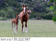 Purebred Arabian horse, Chestnut mare and her bay foal standing in a meadow, Grands Causses regional Natural Park Lozere, France, May. Стоковое фото, фотограф Pascal Pittorino / Nature Picture Library / Фотобанк Лори