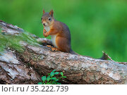 Eurasian red squirrel (Sciurus vulgaris) Jarbo, Sweden. Стоковое фото, фотограф Staffan Widstrand / Nature Picture Library / Фотобанк Лори