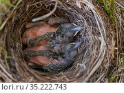 Blackbird chicks (Turdus merula) in their nest in a bicycle basket, Jarfalla, Sweden. Стоковое фото, фотограф Staffan Widstrand / Nature Picture Library / Фотобанк Лори