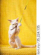 White Devon Rex Kitten Kitty Playing With Feather Toy. Short-haired... Стоковое фото, фотограф Ryhor Bruyeu / easy Fotostock / Фотобанк Лори