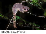 Ankarana dwarf lemur (Cheirogaleus shethi) in forest understory. Ankarana Reserve forests, northern Madagascar. Стоковое фото, фотограф Nick Garbutt / Nature Picture Library / Фотобанк Лори