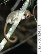 Madame Berthe's mouse lemur (Microcebus berthae) at night. Kirindy forest, western Madagascar. (world's smallest primate) Стоковое фото, фотограф Nick Garbutt / Nature Picture Library / Фотобанк Лори