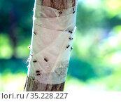 Защитная преграда для насекомых из липкой ленты на стволе дерева. Стоковое фото, фотограф Вячеслав Палес / Фотобанк Лори