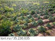 Farm field with damaged savoy cabbage plants after drought. Стоковое фото, фотограф Яков Филимонов / Фотобанк Лори