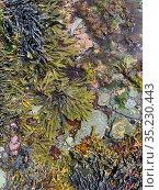Seaweed including Bladder wrack (Fucus vesiculosus) egg wrack (Ascophyllum nodosum; serrated wrack (Fucus serratus) grows around the edge of a rockpool... Стоковое фото, фотограф Alex Mustard / Nature Picture Library / Фотобанк Лори