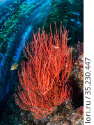 Red gorgonian (Lophogorgia chilensis) grows beneath a forest of Giant kelp (Macrocystis pyrifera), with kelp bass (Paralabrax clathratus). Santa Barbara... Стоковое фото, фотограф Alex Mustard / Nature Picture Library / Фотобанк Лори